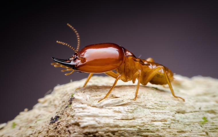 one big termite