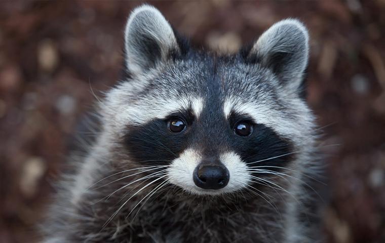 close up of raccoon