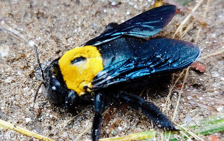 a carpenter bee on the dirt