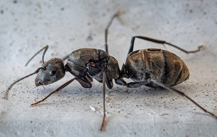 an up close image of a carpenter ant crawling in a basement