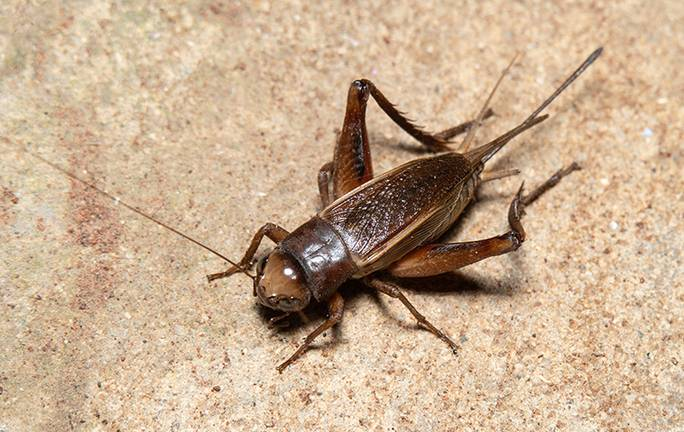 a cricket in the basement of a chicago home