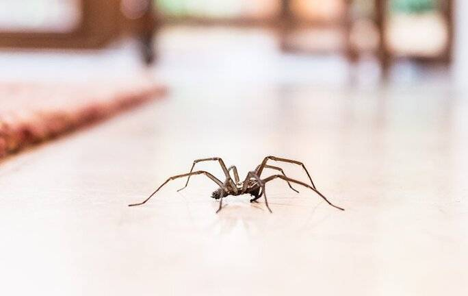 house spider crawling on the floor