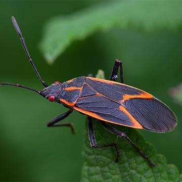 boxelder bug on a leaf
