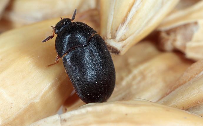 black carpet beetle crawling on grain