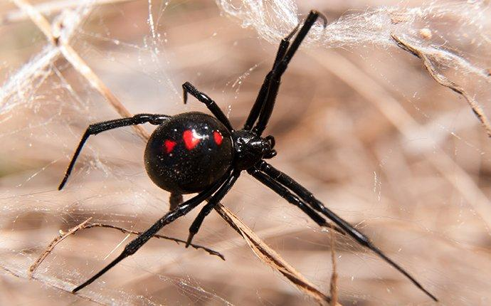 a black widow spider in its web outside a home
