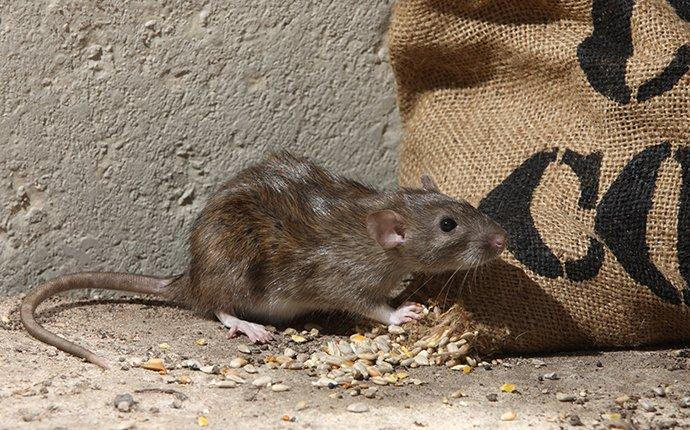 a brown rat eating food in a basement