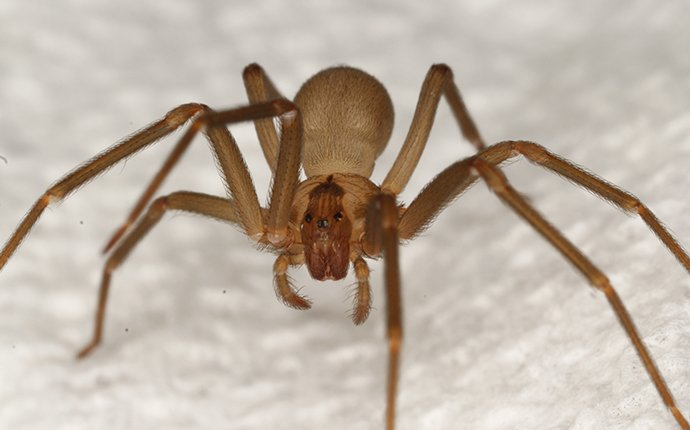 a brown recluse spider crawling on fabric