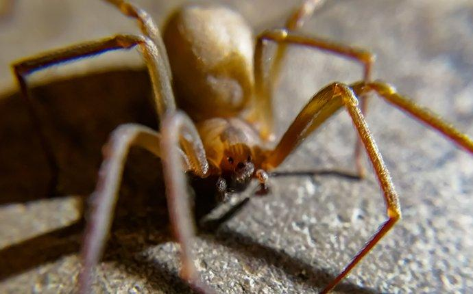 brown recluse spider in a basement
