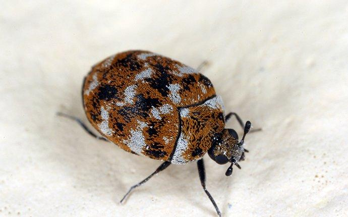 a carpet beetle crawling in a home
