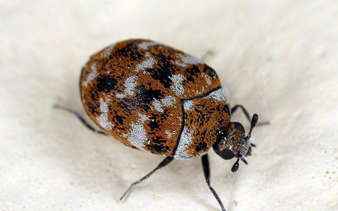 a carpet beetle crawlin on fabric