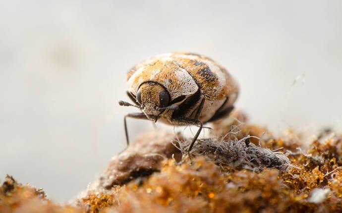 carpet beetle on carpet