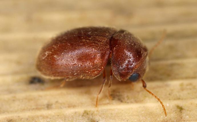a cigarette beetle crawling on a leaf