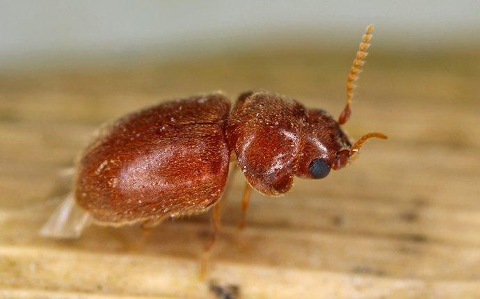 cigarette beetle on leaf