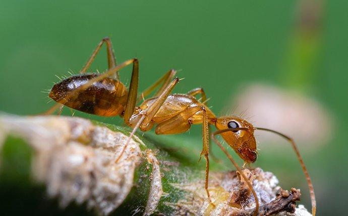 crazy ant on plant stem