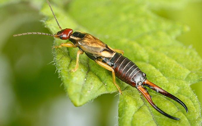 an earwig on a leaf in a house plant