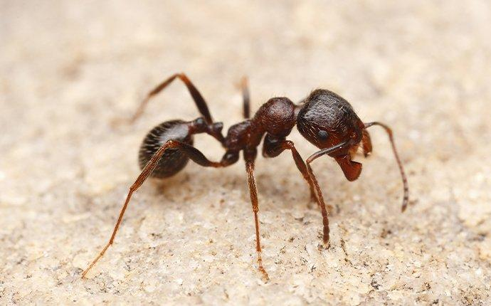 harvester ant on a kitchen countertop in fort worth