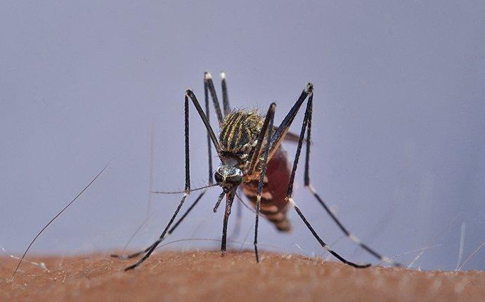 mosquito biting skin dangerous pest