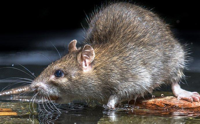 norway rat in water