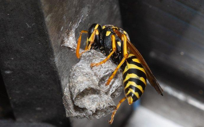 a paper wasp building a nest
