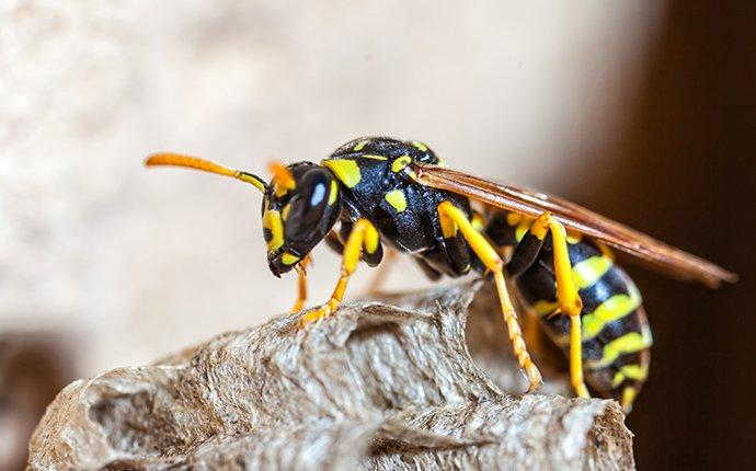 a paper wasp on her nest