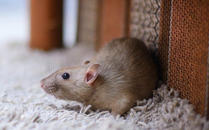 light brown rat next to the leg of a couch in fort worth tx