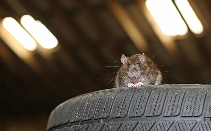a rat in a commercial garage