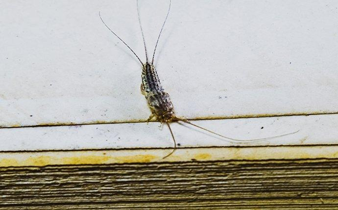 a silverfish crawling inside of a home in houston texas