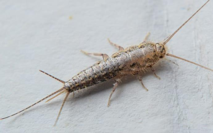 a silverfish infestation within a houston texas home