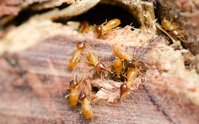 termites eating a piece of wood