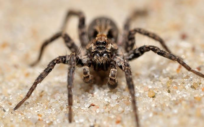 a wolf spider in a home