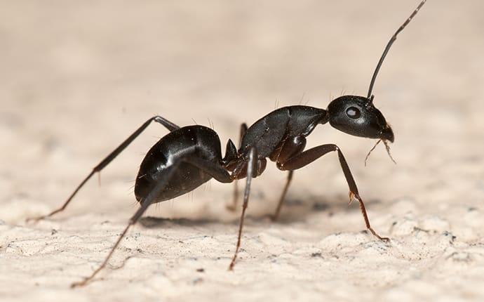 a carpenter ant crawling in a home in crowley texas
