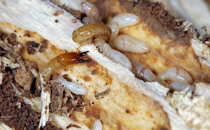 drywood termites hollowing out wooden beam