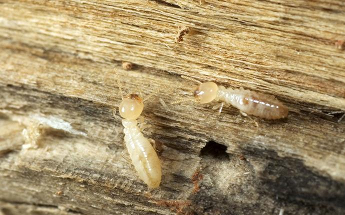 eastern subterranean termites eating wood