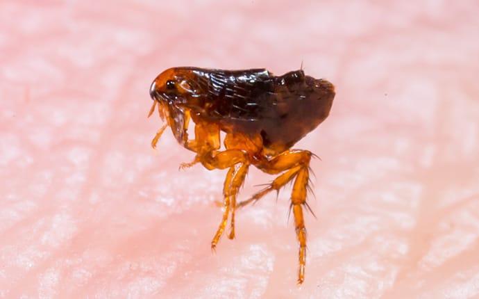 a flea biting a flower mound texas resident