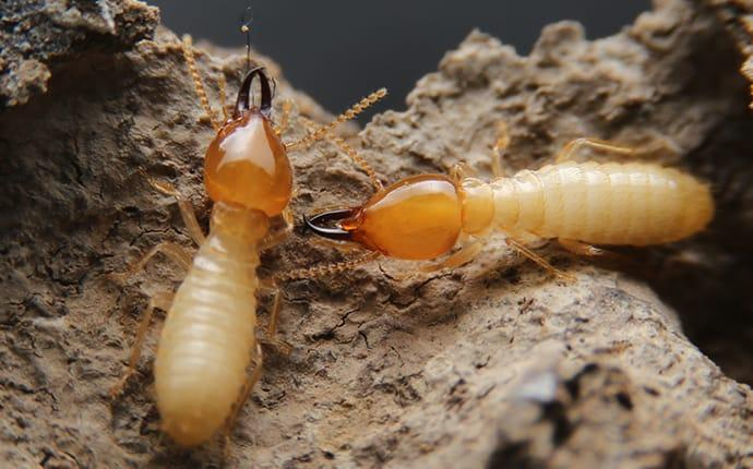 termites crawling on wood in a flower mound texas property