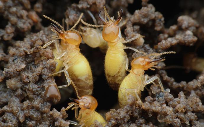 formosan termites on mud tubes