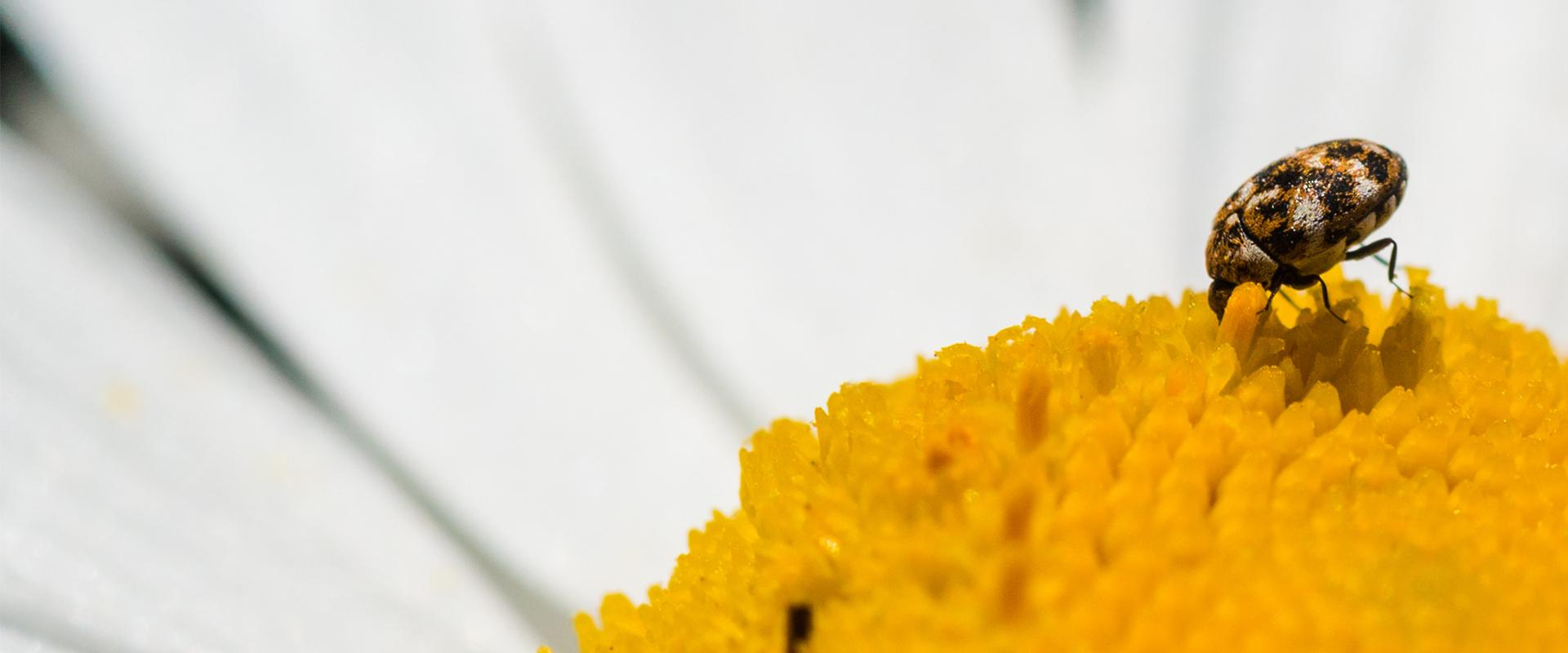 carpet beetle on a daisy