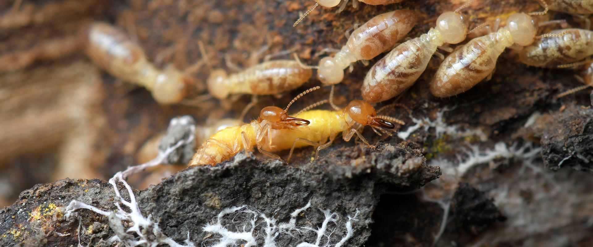 subterranean termites damaging wood