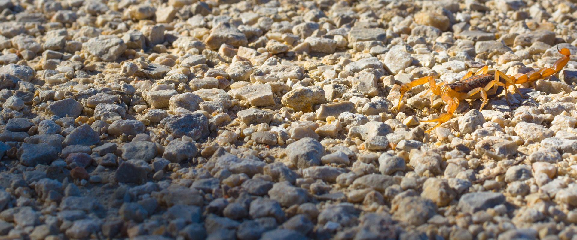 scorpion on rocky ground
