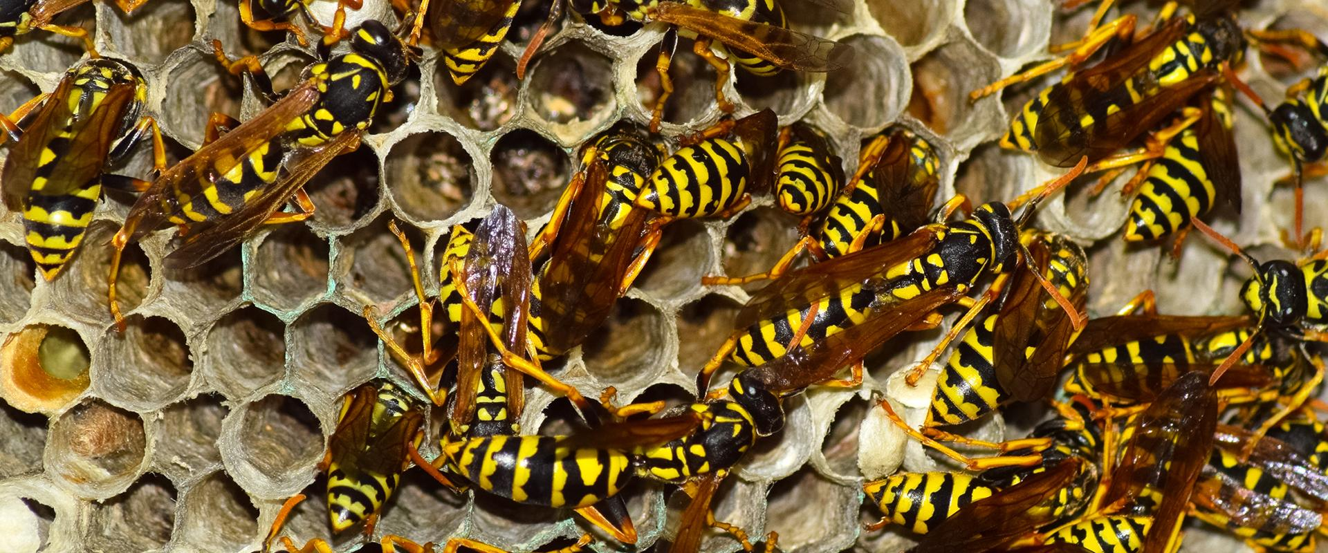 stinging insects on wasp nest