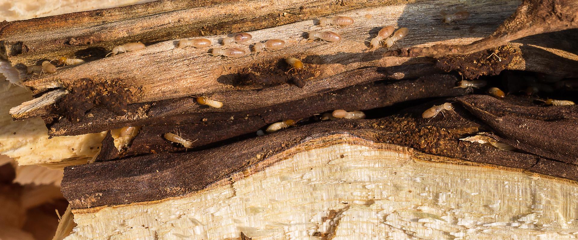 termite colony damaging wood