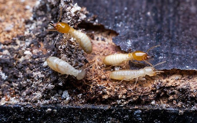 termites chewing wood in kyle texas