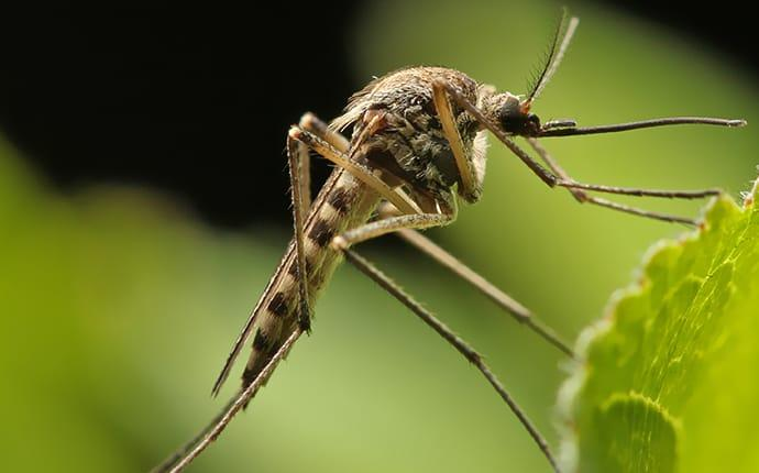 a mosquito in a lewisville texas garden