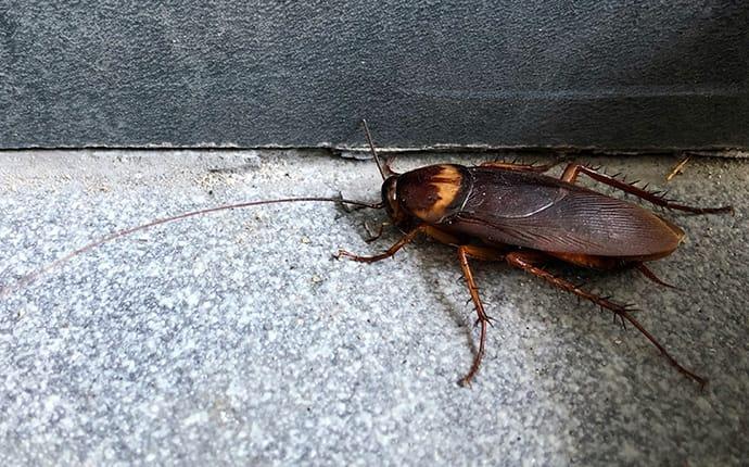 american cockroach in a basement in mckinney tx