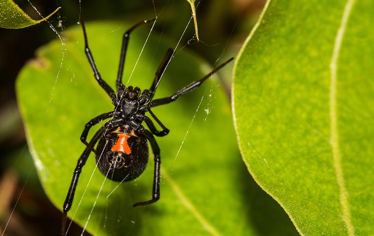 black widow spider creating web behind schertz tx home