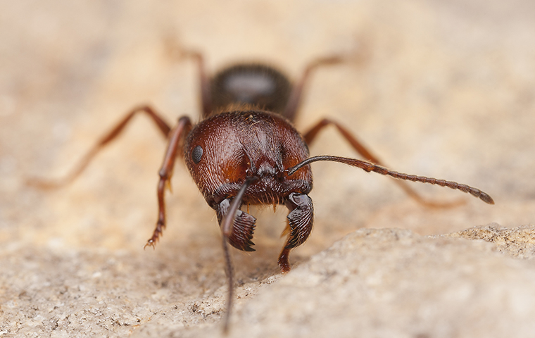 carpenter ant on a counter in a keller tx kitchen