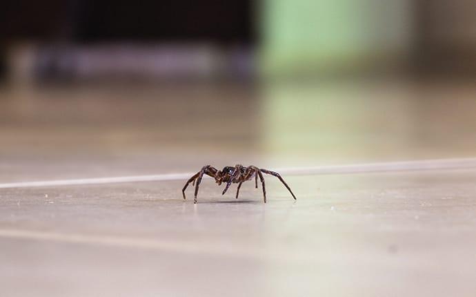 common house spider in a grand prairie tx home