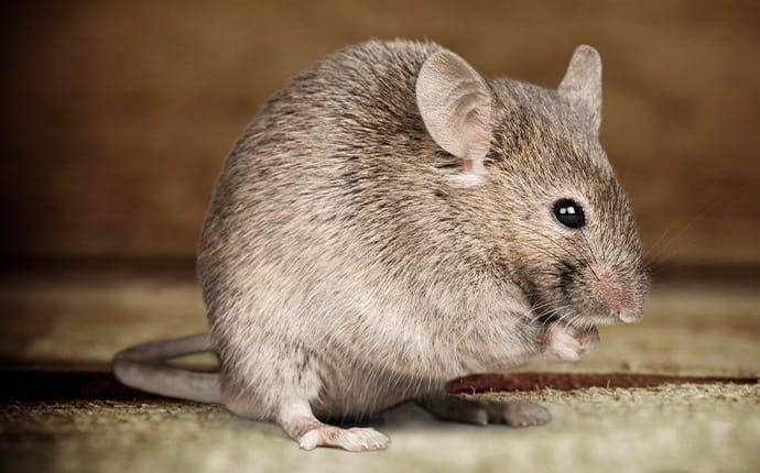 rodent hiding inside a coppell texas home