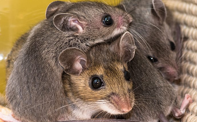 mice huddled together in a denton tx pantry