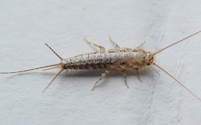 silverfish chewing on paper in mansfield tx